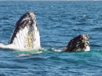 Yamba Whale Watching Cruises